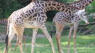 Cincinnati Zoo Giraffe