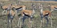 Earth 2009 Gazelles