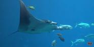 Georgia Aquarium Stingray