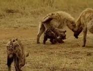 HugoSafari - Hyena15