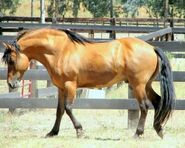 Kiger-Mustang-Horse-Pictures
