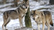 Male and Female Wolves