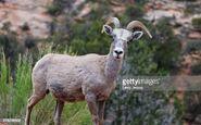 Rocky Mountain Bighorn Ewe