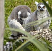Smithsonian Zoo Lemurs