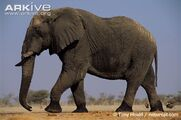African-elephant-walking