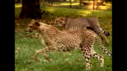 Animal Atlas Cheetahs