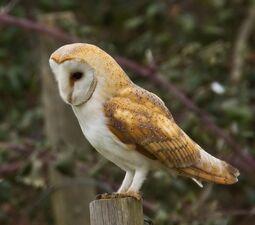 Barn-Owl1.jpg