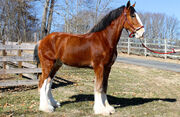 Bart-long-auction-clydesdale-04.jpg