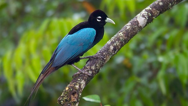 Blue Bird-of-Paradise