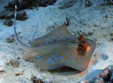Blue-spotted-stingray-big.jpg