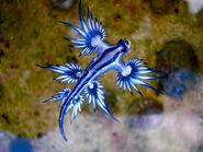 Blue dragon-glaucus atlanticus (8599051974) (1)