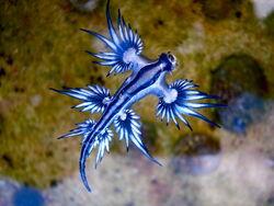 Blue dragon-glaucus atlanticus (8599051974) (1).jpg