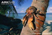 Coconut-crab-on-palm-trunk.jpg