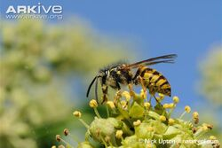 Common-wasp-dusted-with-pollen-feeding-on-ivy-flowers.jpg