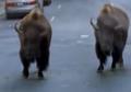 Evan Almighty Bisons