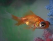 H2OJAW Goldfish