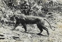 Panthera tigris sondaica 01.jpg