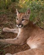 Puma concolor anthonyi