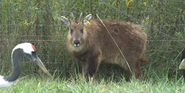 The Wilds Goral