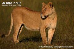 African Lioness.jpg