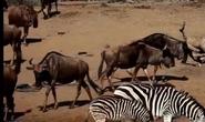 Animal Atlas Wildebeests