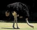 Baton Rouge Zoo Ostrich