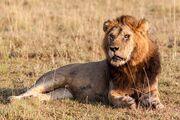 Congo Lion.jpg