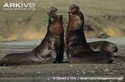 Elephant Seal, Northern.jpg