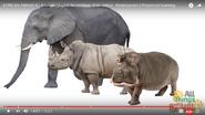 Hippopotamuses Behind Rhinoceroses and Elephants
