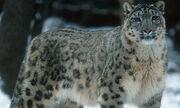 Leopard, Snow.jpg