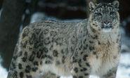Leopard, Snow