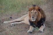 Lion Masai Mara