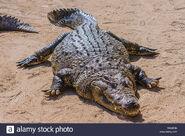 Male Nile Crocodile