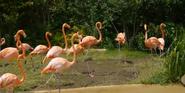 Nashville Zoo Flamingos