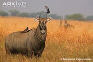 Nilgai-male-in-habitat