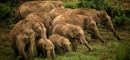 Parade of Indian Elephants