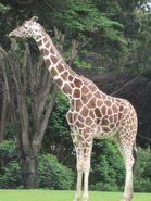 Reticulated Giraffe at SF Zoo 14