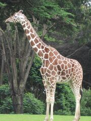 Reticulated Giraffe at SF Zoo 14.JPG
