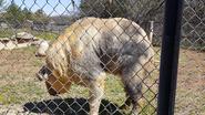 Rolling Hills Zoo Takin