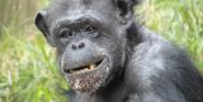 Saint Louis Zoo Chimpanzee