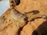 Fat-Tailed Scorpion