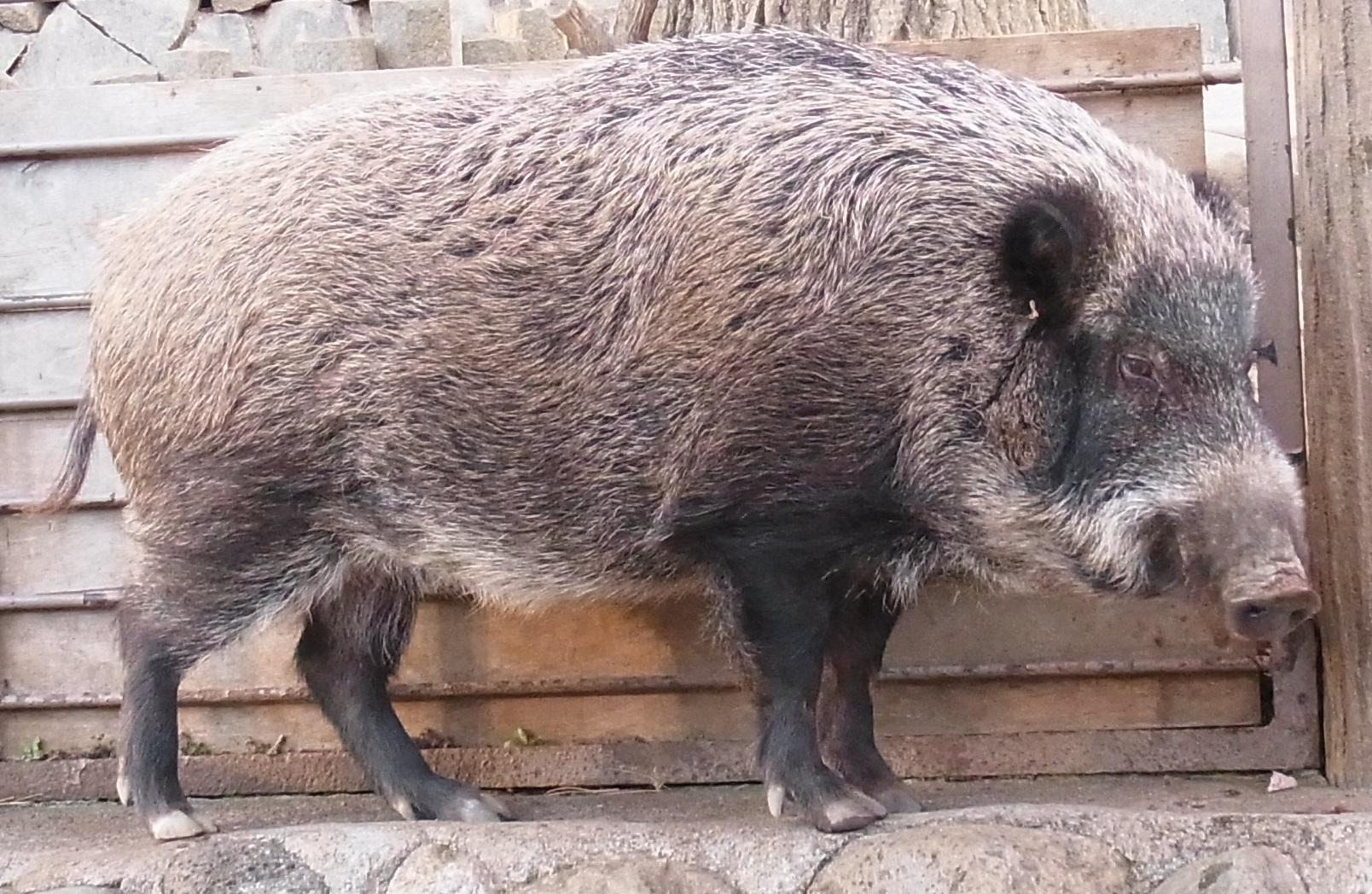 Japanese Boar