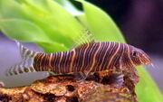 Zebra Loach.jpg