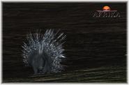 Afrika ps3 african porcupine by scottslive21-da4hwys