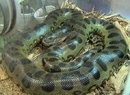 Anaconda, Green (V2)