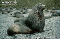 Antarctic fur seal.jpg