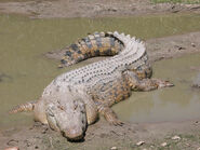 Crocodile, Saltwater