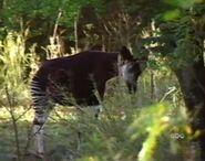 DAKTFA Okapi