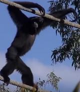 Disney's Animal Kingdom Gibbon