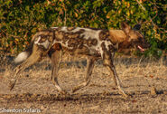 Dog, East African Wild